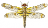 +bug+insect+pest+bandoo+dragon+fly+ clipart