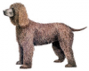 +animal+canine+canid+Irish+Water+Spaniel+ clipart