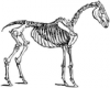 +animal+mammal+horse+skeleton+ clipart